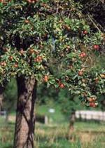 Apple Cider Tree